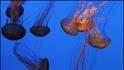 Да плуваш рамо до рамо с медузите