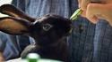 Япония и кафенетата със зайчета за гушкане