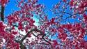 Фестивалът на черешовия цвят по света