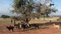 Мароканските кози са... по дърветата