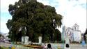 Дървото на Туле – древният мексикански колос