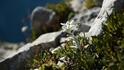 Легенда за еделвайса – красотата на романтичната вечност