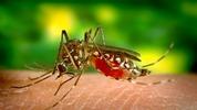 Миризмата, която комарите мразят