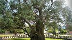 Стара Маслина – 2000 годишно дърво в Черна гора