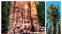 Запознайте се с най-голямото дърво в света – Генерал Шърман