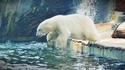 Да се срещнеш с... бели мечки