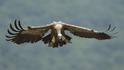 Увеличават се белоглавите лешояди в Източни Родопи