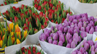 В Деня на лалето си набери цветя в центъра на Амстердам