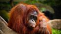 Къде да видите орангутани и да станете Индиана Джоунс