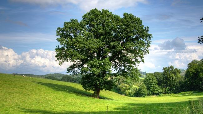 България се бори в конкурса Европейско дърво на годината