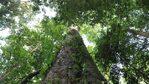 Африка си има ново най-високо дърво