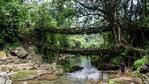 В Индия отглеждат живи мостове