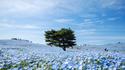 Цунами от сини цветя заля Япония (галерия)