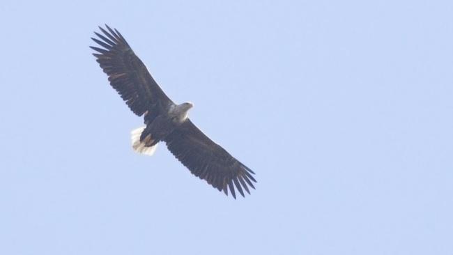 Откриха ново гнездо на морски орел в Източните Родопи
