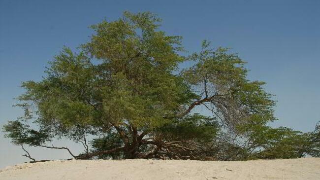 Дървото на живота, което расте в пустинята