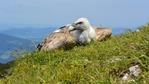 51 малки лешоядчета излетяха в Източните Родопи