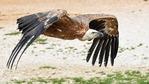 Камера излъчва на живо от гнездо на белоглави лешояди в Източните Родопи
