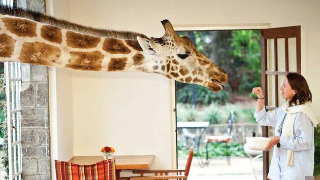 На хотел в компанията на... жирафи
