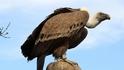 Нов документален филм за лешоядите в Родопите