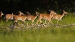 Повече от 50 елени лопатари бяха освободени край Маджарово