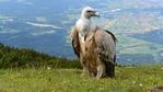 Вижте новоизлюпените белоглави лешояди в Източни Родопи