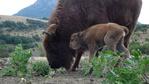 Зубърче се роди отново в Родопите