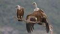 62 малки лешоядчета излетяха в Източните Родопи