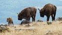 Историята на зубрите, обитаващи Източните Родопи