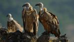 Рекордно голям брой на белоглавите лешояди в Източните Родопи