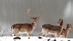 20 елени лопатари се заселиха в района на Маджарово
